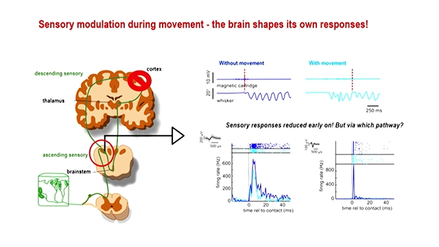 Why is it that we can be tickled but cannot tickle ourselves? Although the sensory stimulus remains the same in both cases. In this presentation you will learn how the brain uses internally generated predictions to influence perception.